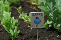 beets Garden to Plate: More Restaurants Grow Their Own