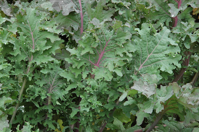 Kale Trending on Recent OpenTable Restaurant Reviews: Kale