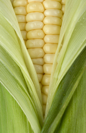 iStock 000003332943XSmall Trending on Recent OpenTable Restaurant Reviews: Sweet Corn
